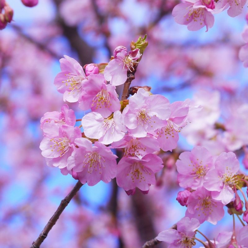 The Cherry Blossom Festival is a Stunning Sight in Spring
