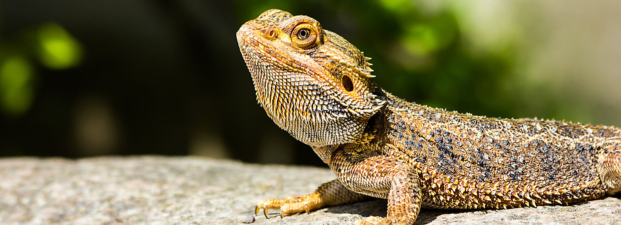 5 Tips to Care for Your Bearded Dragon